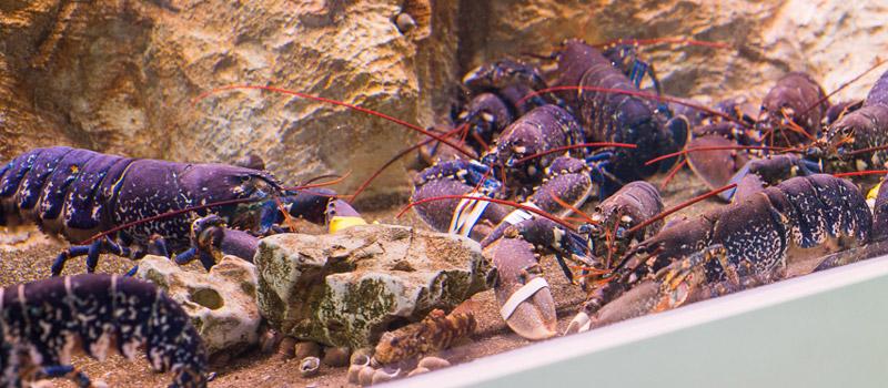 Dégustation homard bleu breton pêche vivant
